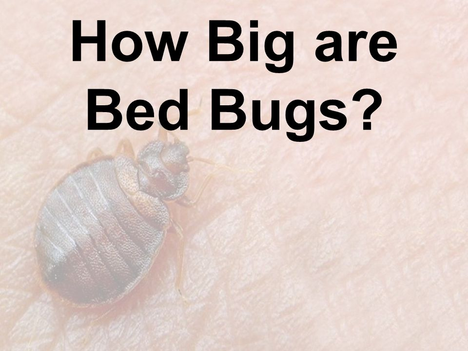 How Big are Bed Bugs