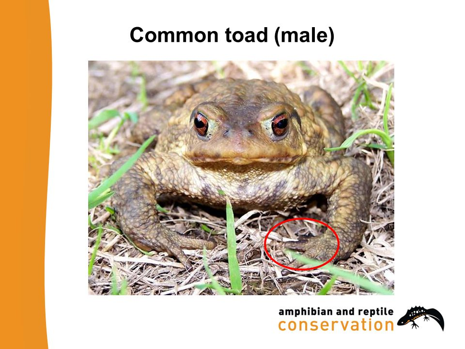 Common toad (male)