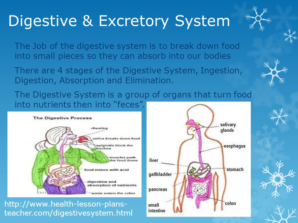 Digestive & Excretory System The Job of the digestive system is to break down food into small pieces so they can absorb into our bodies There are 4 stages of the Digestive System, Ingestion, Digestion, Absorption and Elimination.