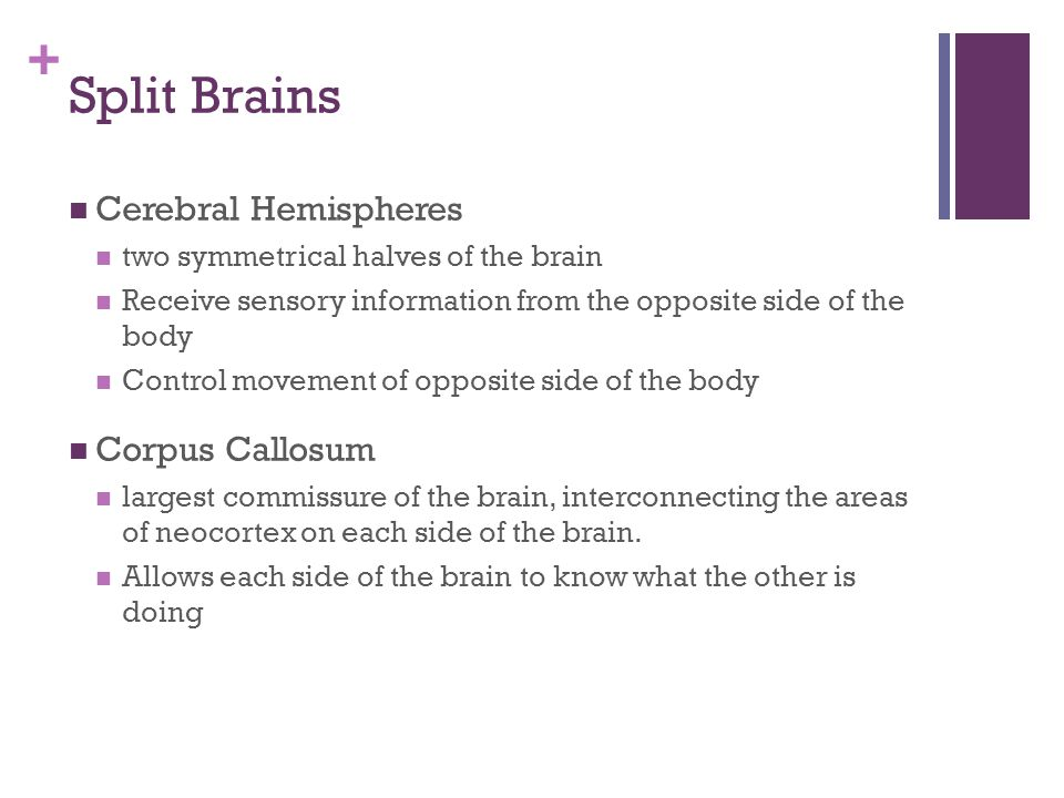 + Split Brains Cerebral Hemispheres two symmetrical halves of the brain Receive sensory information from the opposite side of the body Control movement of opposite side of the body Corpus Callosum largest commissure of the brain, interconnecting the areas of neocortex on each side of the brain.