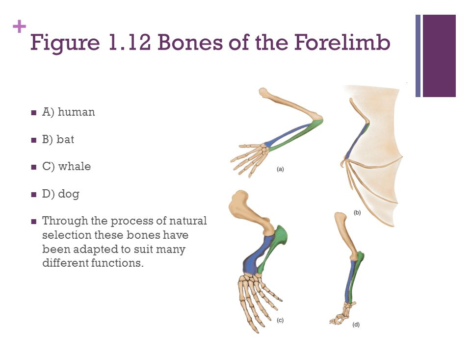 + Figure 1.12 Bones of the Forelimb A) human B) bat C) whale D) dog Through the process of natural selection these bones have been adapted to suit many different functions.