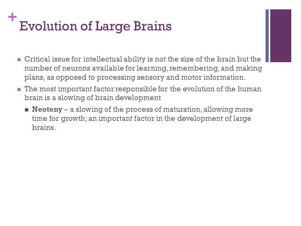 + Evolution of Large Brains Critical issue for intellectual ability is not the size of the brain but the number of neurons available for learning, remembering, and making plans, as opposed to processing sensory and motor information.
