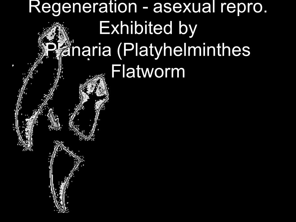 Regeneration - asexual repro. Exhibited by Planaria (Platyhelminthes Flatworm