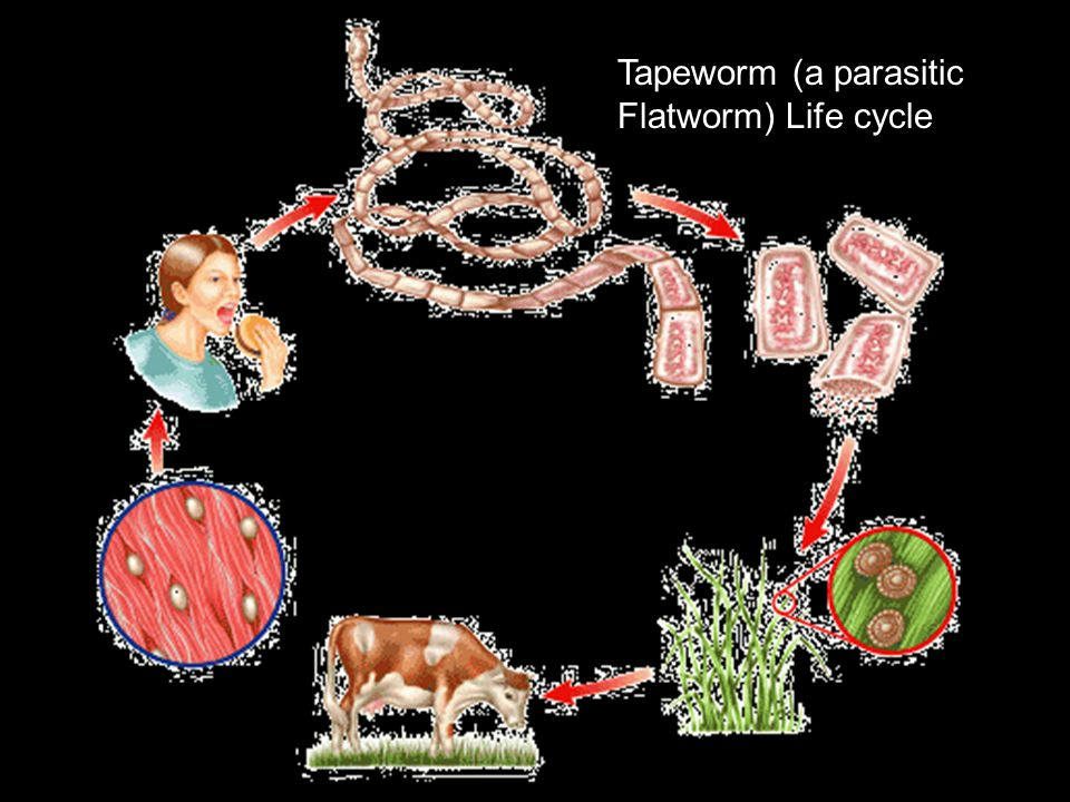 ` Tapeworm (a parasitic Flatworm) Life cycle