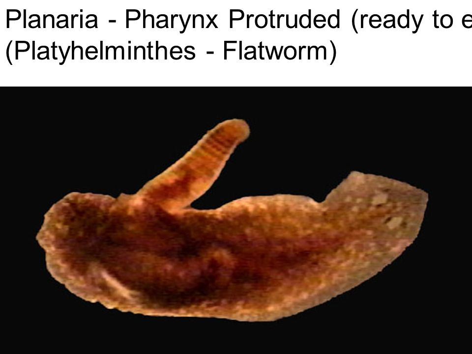 Planaria - Pharynx Protruded (ready to eat) (Platyhelminthes - Flatworm)