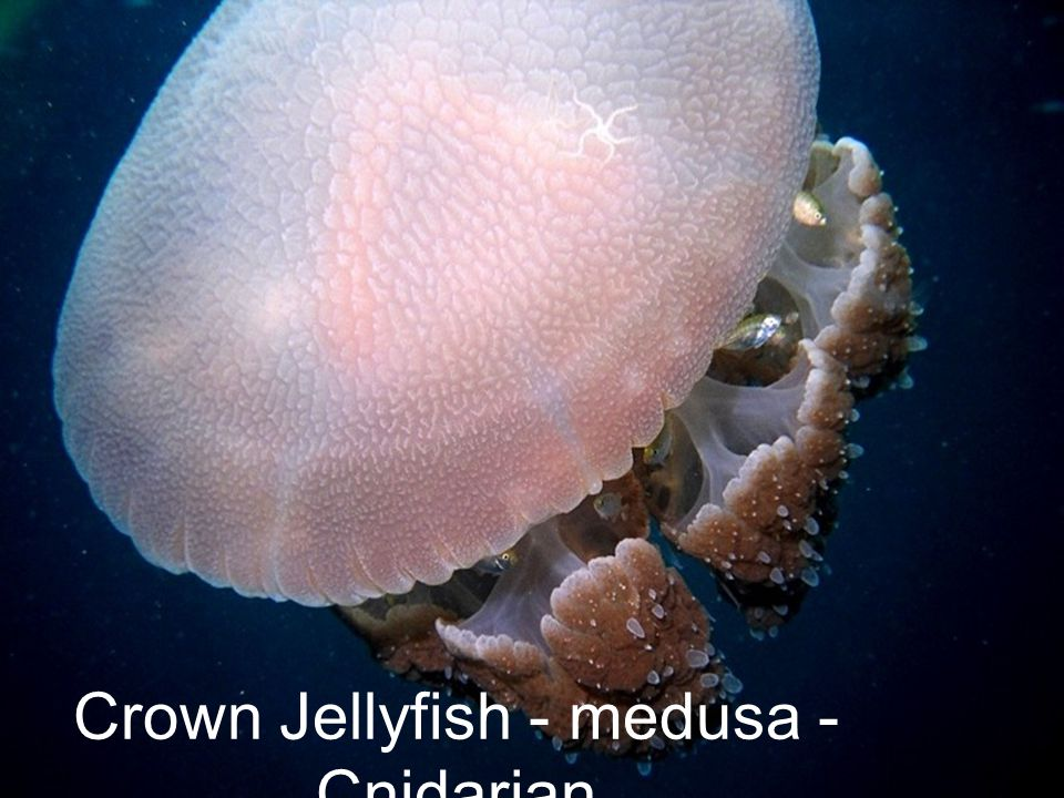 Crown Jellyfish - medusa - Cnidarian