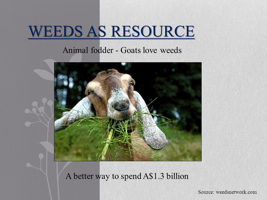 WEEDS AS RESOURCE Animal fodder - Goats love weeds Source: weedsnetwork.com A better way to spend A$1.3 billion