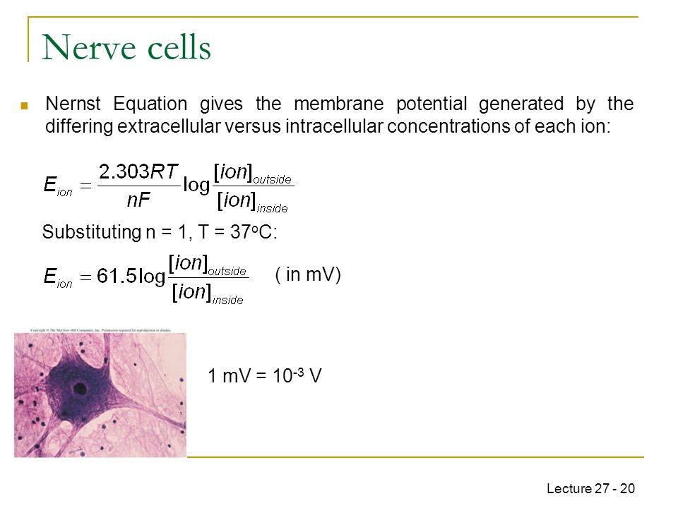 Lecture 27 - 20 Nerve cells Nernst Equation gives the membrane potential generated by the differing extracellular versus intracellular concentrations of each ion: Substituting n = 1, T = 37 o C: ( in mV) 1 mV = 10 -3 V