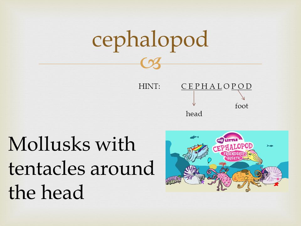  cephalopod Mollusks with tentacles around the head HINT:C E P H A L O P O D head foot