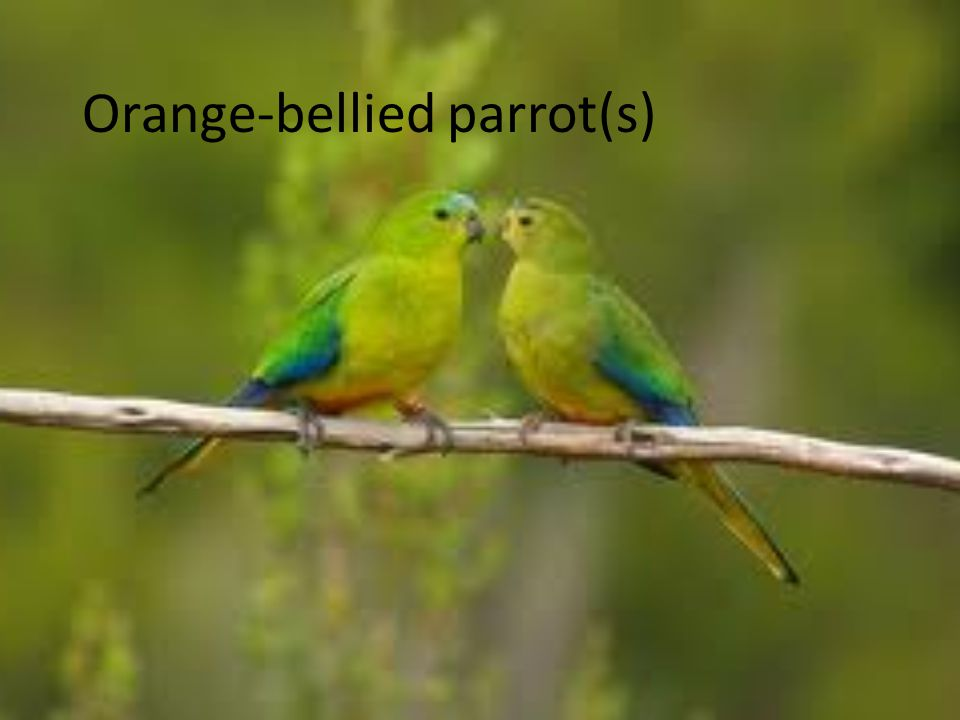 Orange-bellied parrot(s)