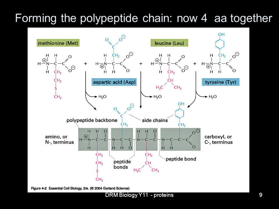 DRM Biology Y11 - proteins9 Forming the polypeptide chain: now 4 aa together