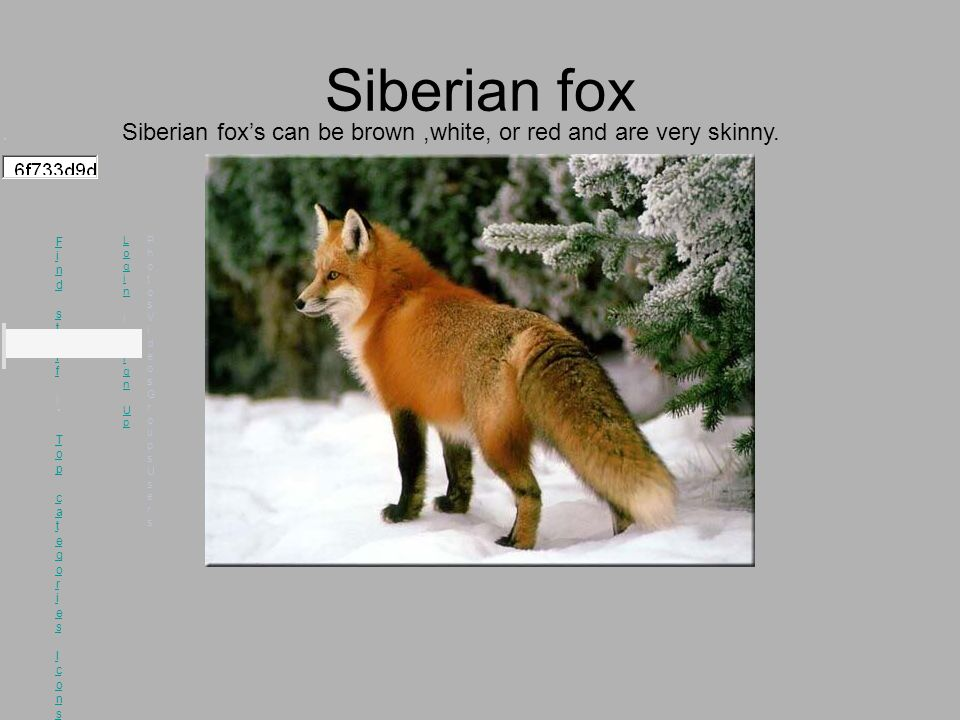 Siberian fox ▾ Find stuff |▾ Top categories Icons Recent Popular Group albums Competitions Featured Find stuff |▾ Top categories Icons Recent Popular Group albums Competitions Featured Login | Sign Up Login | Sign Up PhotosVideosGroupsUsersPhotosVideosGroupsUsers Siberian fox's can be brown,white, or red and are very skinny.
