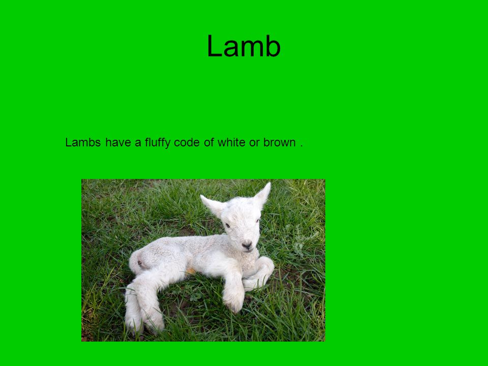 Lamb Lambs have a fluffy code of white or brown.