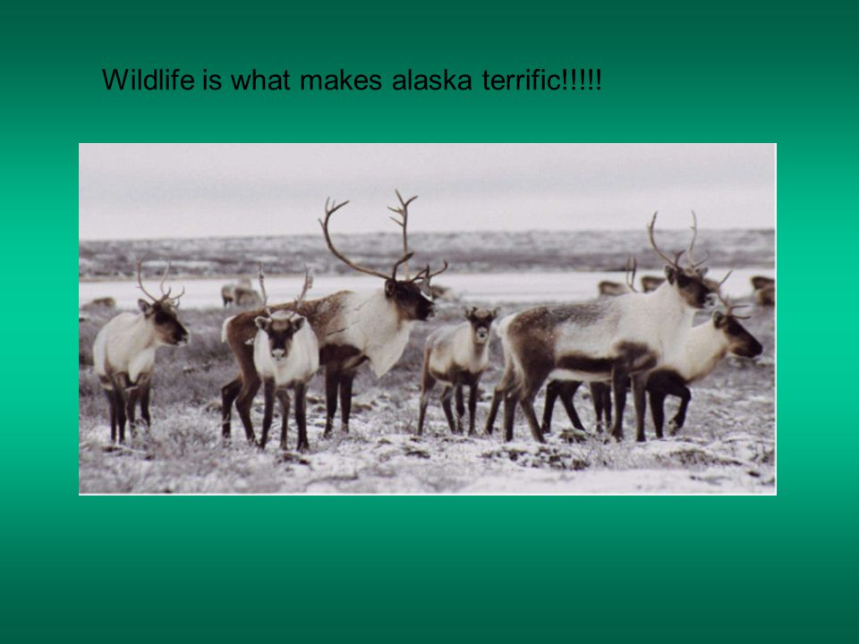 Wildlife is what makes alaska terrific!!!!!