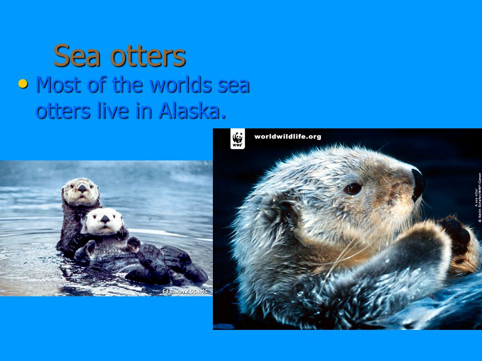 Sea otters Most of the worlds sea otters live in Alaska.