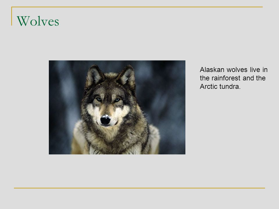Wolves Alaskan wolves live in the rainforest and the Arctic tundra.