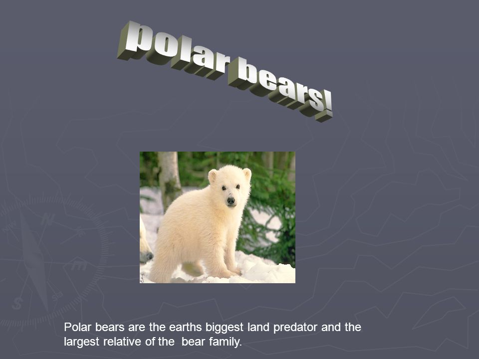 Polar bears are the earths biggest land predator and the largest relative of the bear family.