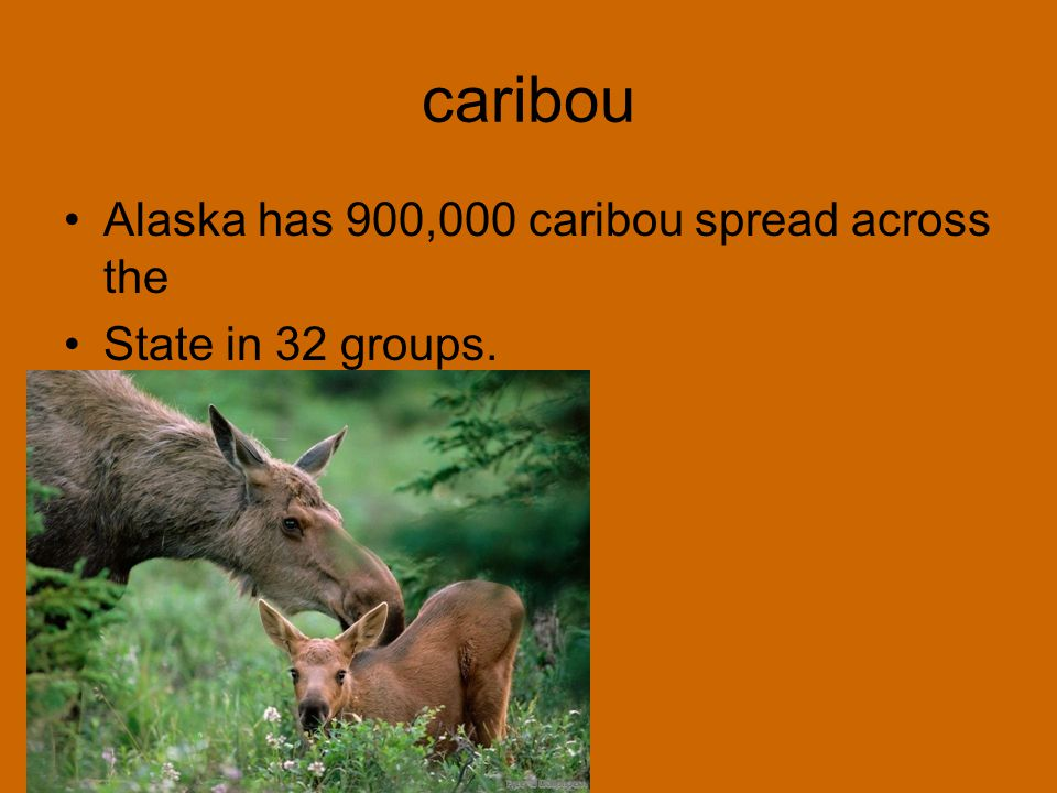 caribou Alaska has 900,000 caribou spread across the State in 32 groups.