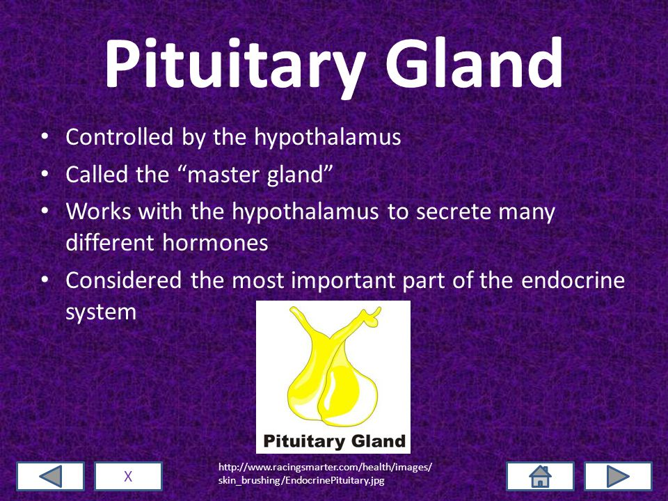 Pituitary Gland Controlled by the hypothalamus Called the master gland Works with the hypothalamus to secrete many different hormones Considered the most important part of the endocrine system X http://www.racingsmarter.com/health/images/ skin_brushing/EndocrinePituitary.jpg