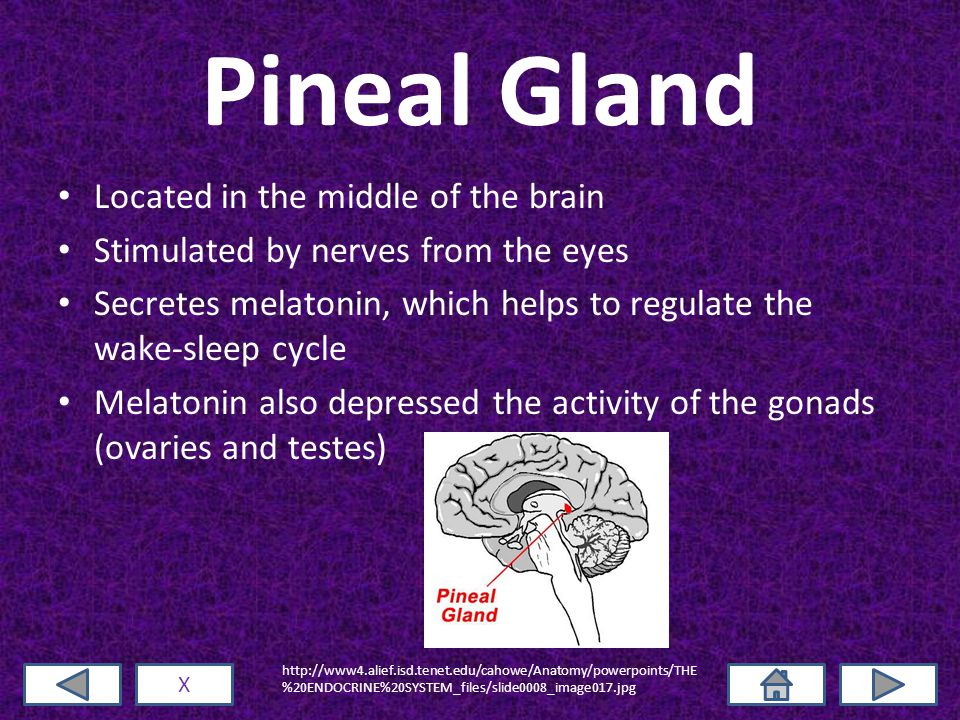 Pineal Gland Located in the middle of the brain Stimulated by nerves from the eyes Secretes melatonin, which helps to regulate the wake-sleep cycle Melatonin also depressed the activity of the gonads (ovaries and testes) X http://www4.alief.isd.tenet.edu/cahowe/Anatomy/powerpoints/THE %20ENDOCRINE%20SYSTEM_files/slide0008_image017.jpg