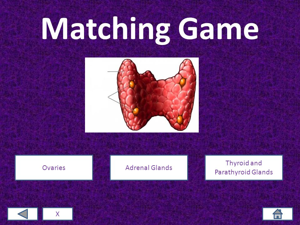 Matching Game X OvariesAdrenal Glands Thyroid and Parathyroid Glands