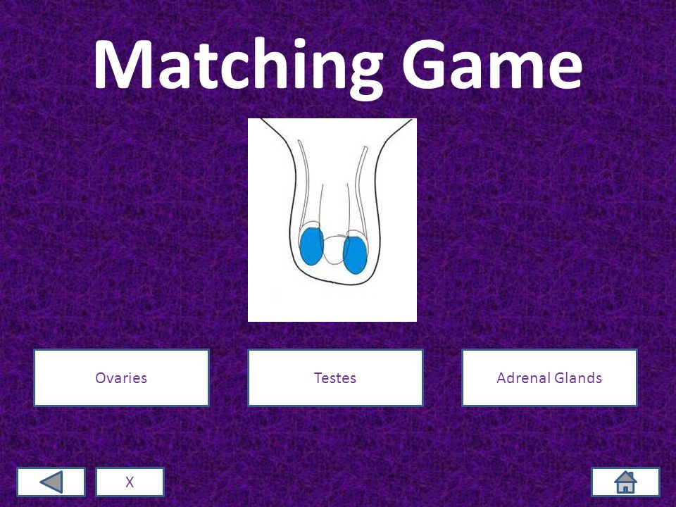 Matching Game X OvariesTestesAdrenal Glands