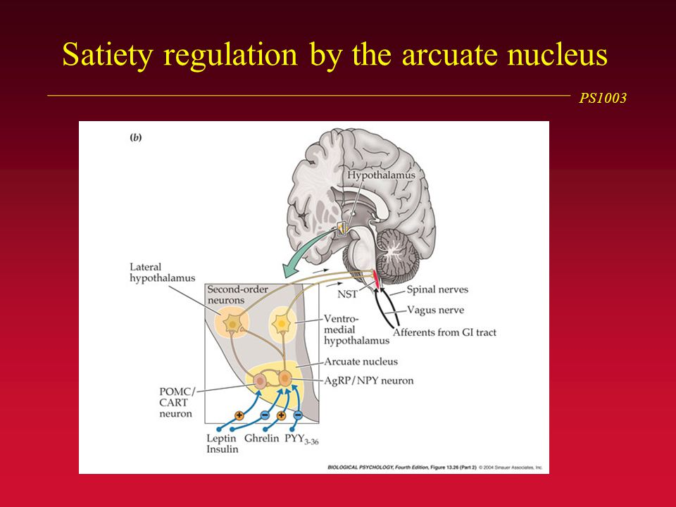 PS1003 Satiety regulation by the arcuate nucleus