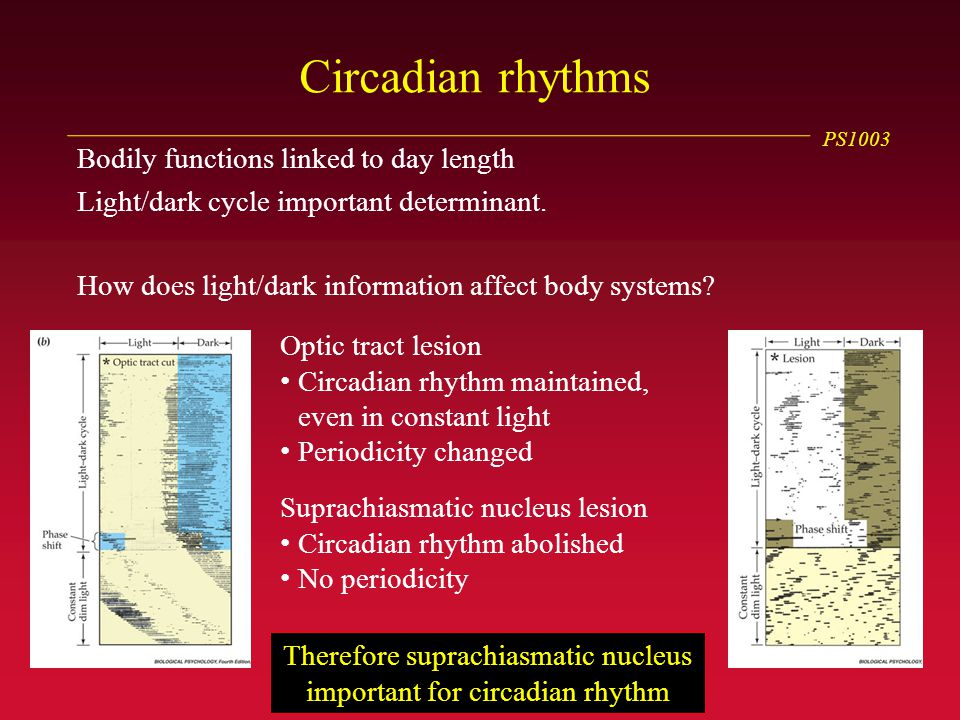 PS1003 Circadian rhythms Bodily functions linked to day length Light/dark cycle important determinant.
