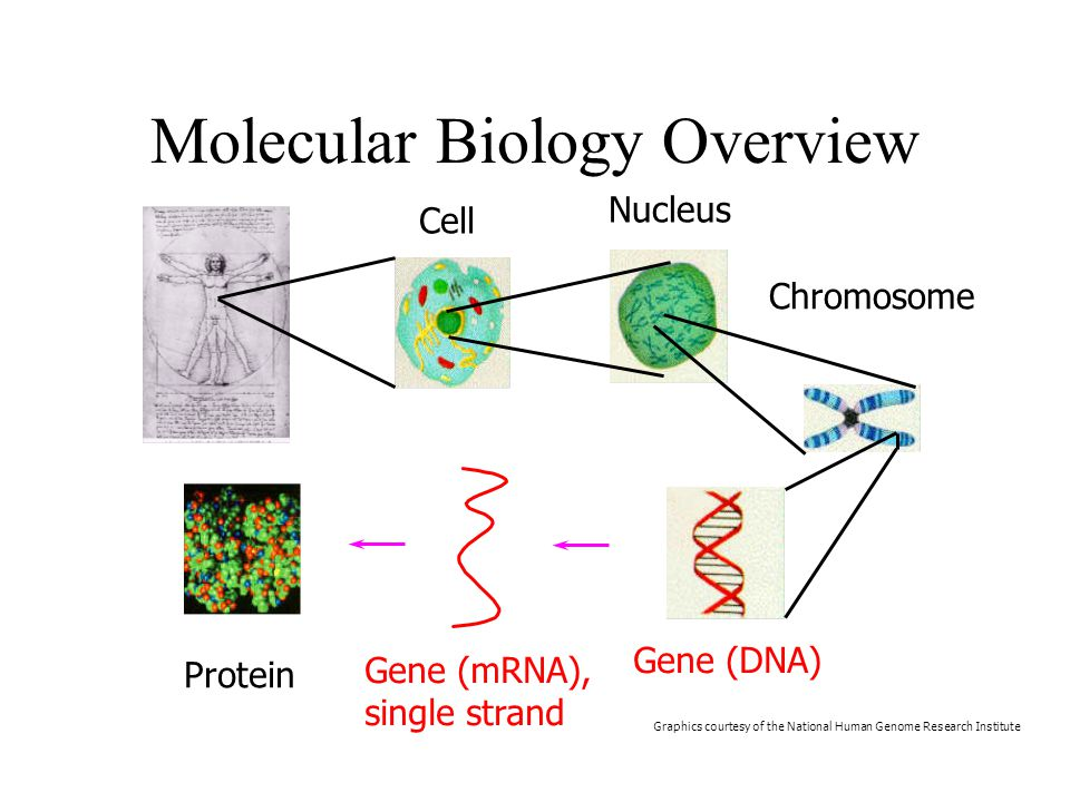 Molecular Biology Overview Cell Nucleus Chromosome Protein Graphics courtesy of the National Human Genome Research Institute Gene (DNA) Gene (mRNA), single strand