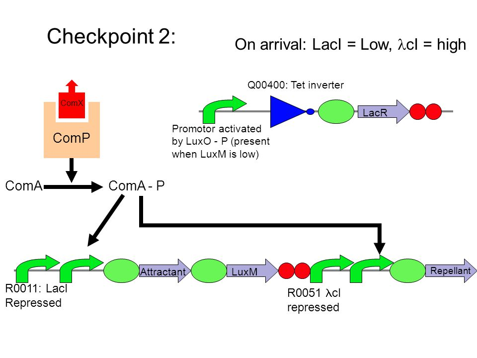 Checkpoint 2: ComP ComX ComAComA - P Attractant R0011: LacI Repressed LuxM R0051 cI repressed Repellant On arrival: LacI = Low, cI = high Promotor activated by LuxO - P (present when LuxM is low) Q00400: Tet inverter LacR