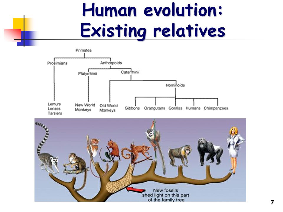 7 Human evolution: Existing relatives