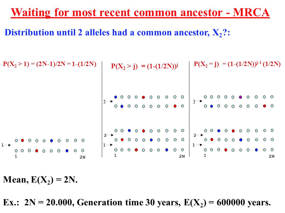 Mean, E(X 2 ) = 2N. Ex.: 2N = 20.000, Generation time 30 years, E(X 2 ) = 600000 years.