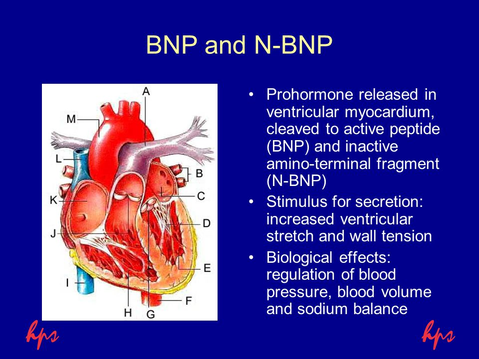 BNP and N-BNP Prohormone released in ventricular myocardium, cleaved to active peptide (BNP) and inactive amino-terminal fragment (N-BNP) Stimulus for secretion: increased ventricular stretch and wall tension Biological effects: regulation of blood pressure, blood volume and sodium balance