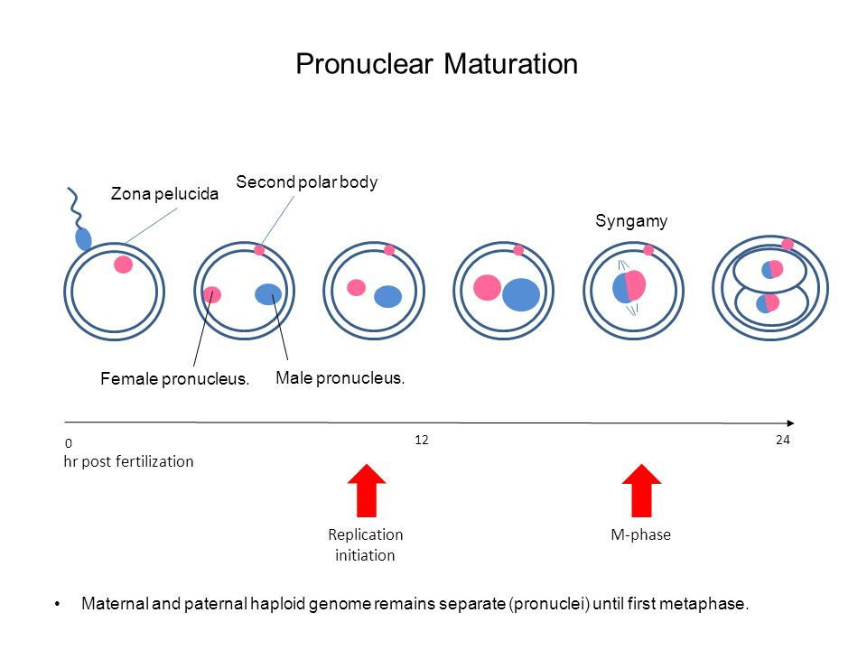 Pronuclear Maturation 12 24 Replication initiation M-phase hr post fertilization 0 Second polar body Zona pelucida Maternal and paternal haploid genome remains separate (pronuclei) until first metaphase.