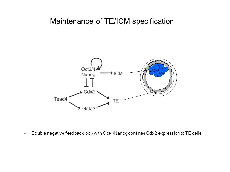 Maintenance of TE/ICM specification Double negative feedback loop with Oct4/Nanog confines Cdx2 expression to TE cells.