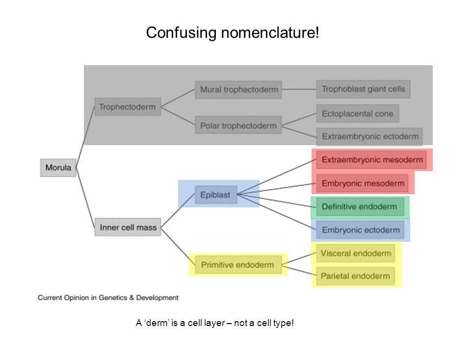 Confusing nomenclature! A 'derm' is a cell layer – not a cell type!
