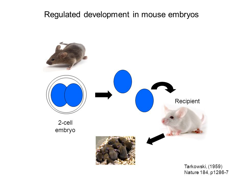 Tarkowski, (1959) Nature 184, p1286-7 2-cell embryo Donor Recipient Regulated development in mouse embryos