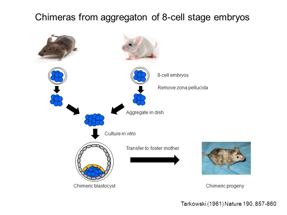 Chimeras from aggregaton of 8-cell stage embryos 8-cell embryos Remove zona pellucida Aggregate in dish Culture in vitro Chimeric blastocyst Transfer to foster mother Chimeric progeny Tarkowski (1961) Nature 190, 857-860