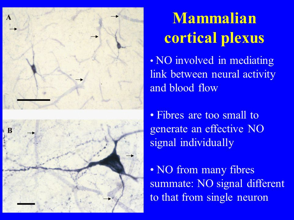 Mammalian cortical plexus NO involved in mediating link between neural activity and blood flow Fibres are too small to generate an effective NO signal individually NO from many fibres summate: NO signal different to that from single neuron