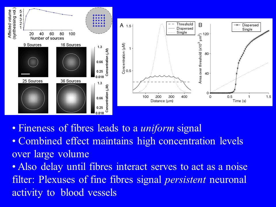 Fineness of fibres leads to a uniform signal Combined effect maintains high concentration levels over large volume Also delay until fibres interact serves to act as a noise filter: Plexuses of fine fibres signal persistent neuronal activity to blood vessels