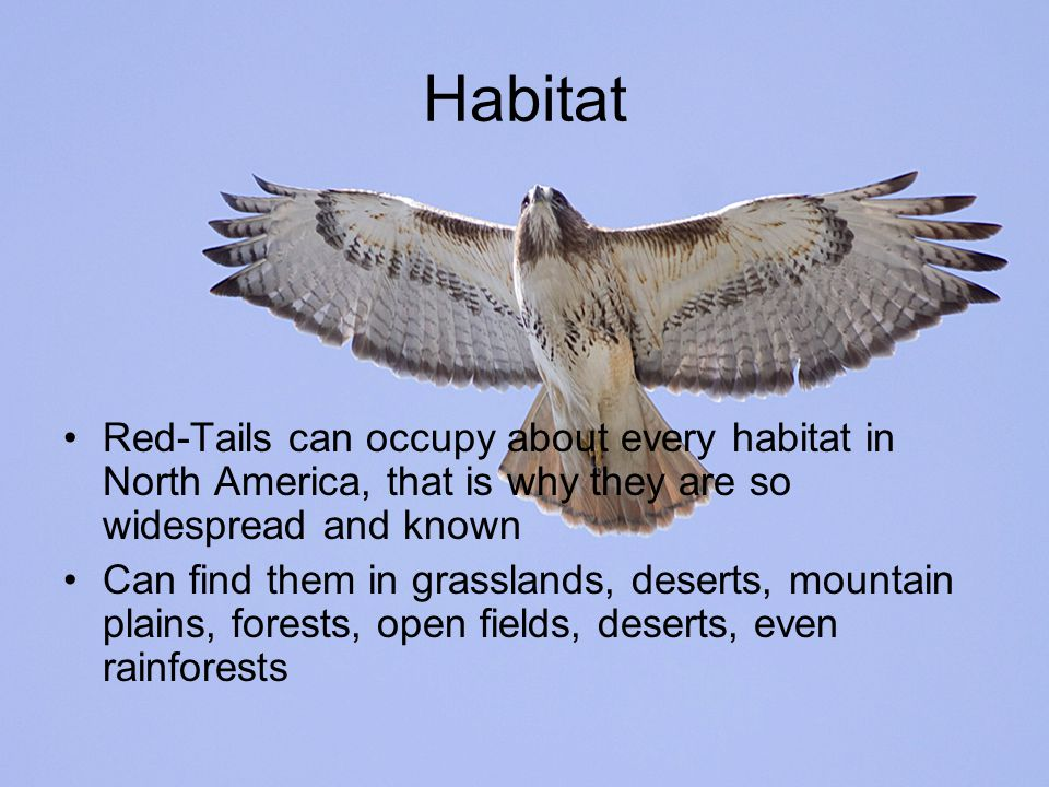 Habitat Red-Tails can occupy about every habitat in North America, that is why they are so widespread and known Can find them in grasslands, deserts, mountain plains, forests, open fields, deserts, even rainforests