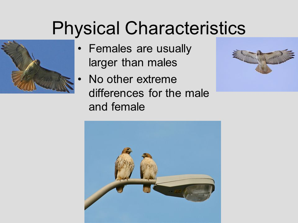Physical Characteristics Females are usually larger than males No other extreme differences for the male and female