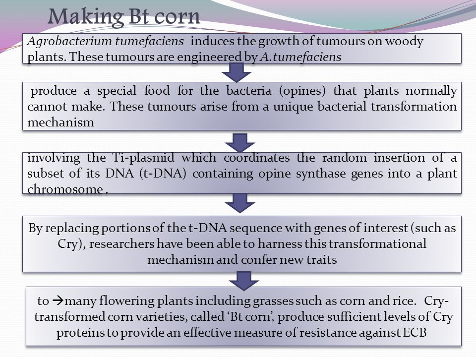 Making Bt corn to  many flowering plants including grasses such as corn and rice.