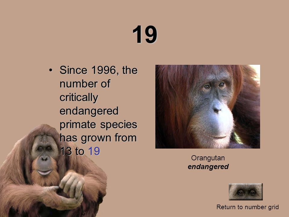 19 Since 1996, the number of critically endangered primate species has grown from 13 to 19Since 1996, the number of critically endangered primate species has grown from 13 to 19 Return to number grid Orangutan endangered