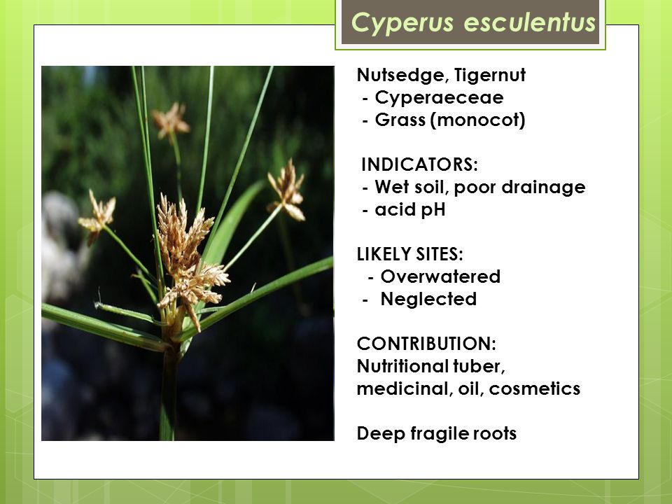 Nutsedge, Tigernut - Cyperaeceae - Grass (monocot) INDICATORS: - Wet soil, poor drainage - acid pH LIKELY SITES: - Overwatered - Neglected CONTRIBUTION: Nutritional tuber, medicinal, oil, cosmetics Deep fragile roots Cyperus esculentus