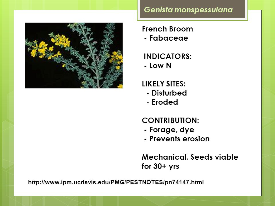 http://www.ipm.ucdavis.edu/PMG/PESTNOTES/pn74147.html French Broom - Fabaceae INDICATORS: - Low N LIKELY SITES: - Disturbed - Eroded CONTRIBUTION: - Forage, dye - Prevents erosion Mechanical.