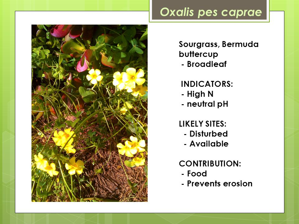 Sourgrass, Bermuda buttercup - Broadleaf INDICATORS: - High N - neutral pH LIKELY SITES: - Disturbed - Available CONTRIBUTION: - Food - Prevents erosion Oxalis pes caprae
