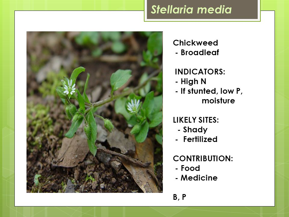 Chickweed - Broadleaf INDICATORS: - High N - If stunted, low P, moisture LIKELY SITES: - Shady - Fertilized CONTRIBUTION: - Food - Medicine B, P Stellaria media