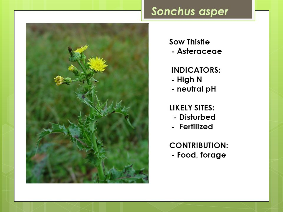 Sow Thistle - Asteraceae INDICATORS: - High N - neutral pH LIKELY SITES: - Disturbed - Fertilized CONTRIBUTION: - Food, forage Sonchus asper