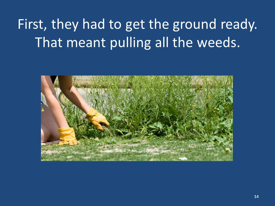 First, they had to get the ground ready. That meant pulling all the weeds. 14